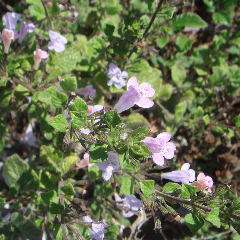 Calament, Calament menthe, Sarriette des bois, Menthe des montagnes (Calamintha sylvatica ou officinalis)