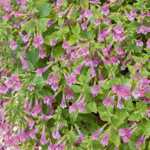 Calament à grandes fleurs (Calamintha grandiflora)