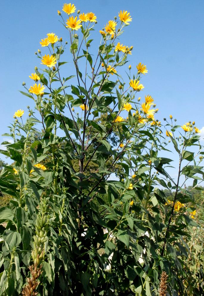 planter un topinambour
