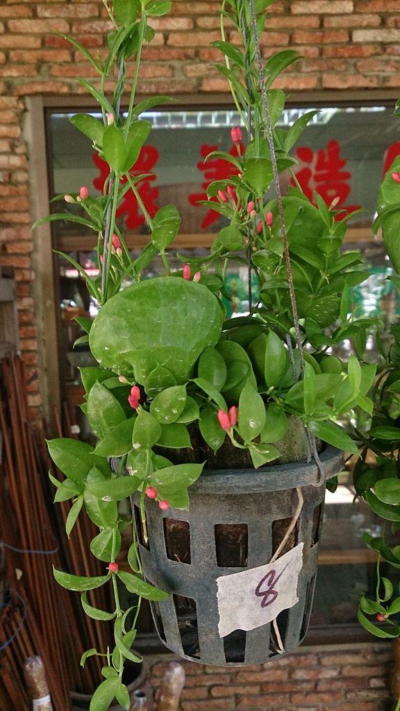 Dischidia planter et entretenir ooreka for Plante originale