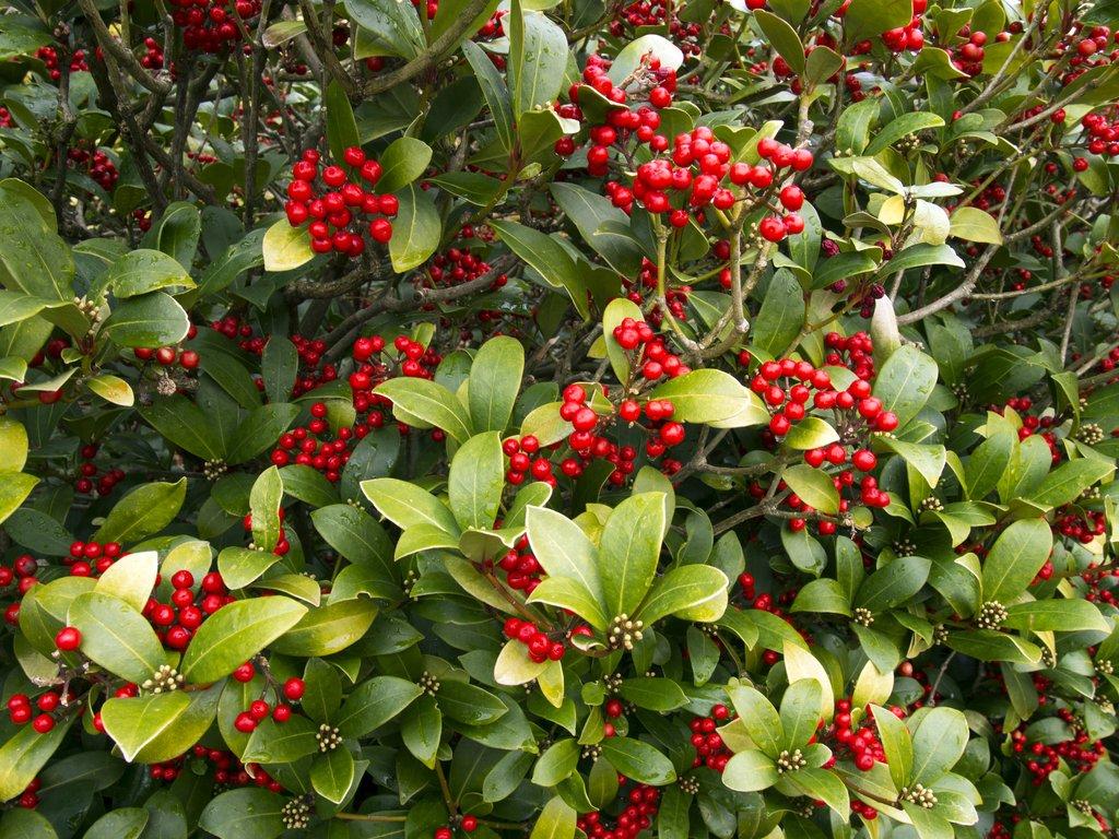 Comment Faire Une Pousse De Houx houx : planter et tailler – ooreka