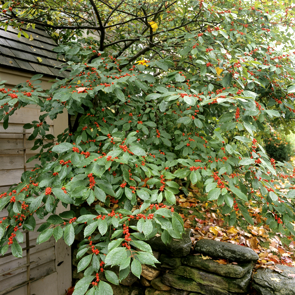 Quand Et Comment Tailler Un Houx houx : planter et tailler – ooreka