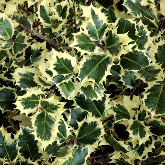 Houx à feuillage panaché Ilex x altaclerensis 'Golden King'