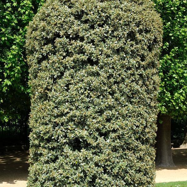 Houx à feuillage panaché Ilex aquifolium 'Argentea Marginata'