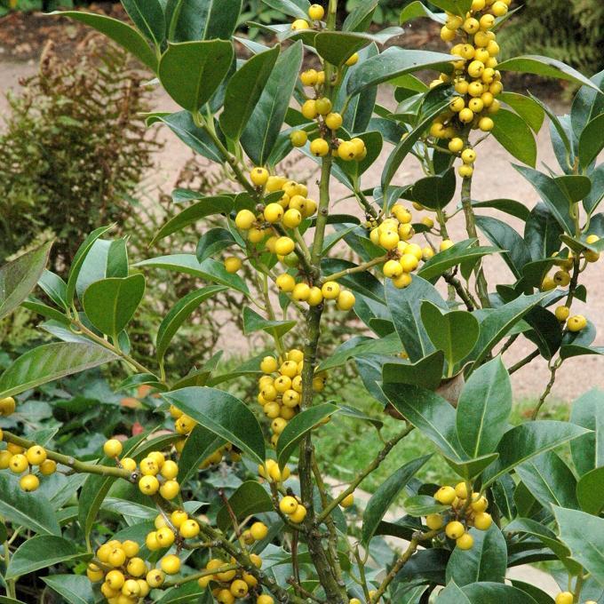 Autres houx Ilex aquifolium 'Bacciflava'