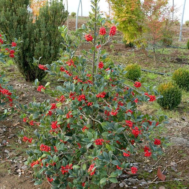 Autres houx Ilex aquifolium 'J. C. van Tol'
