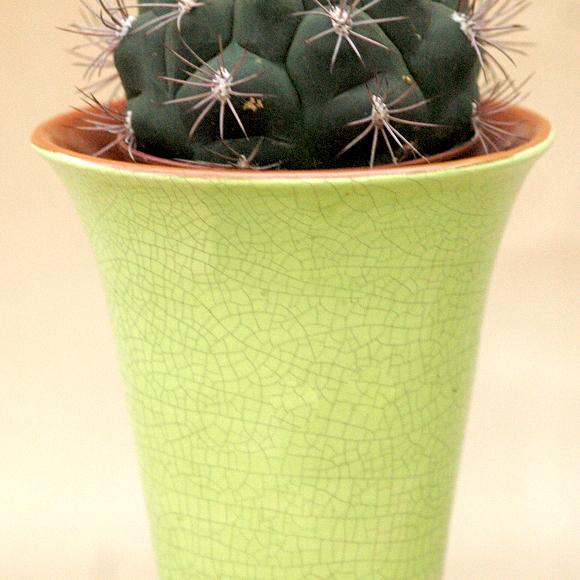 Gymnocalycium (cactus araignée, cactus mentons) 'Saglione'