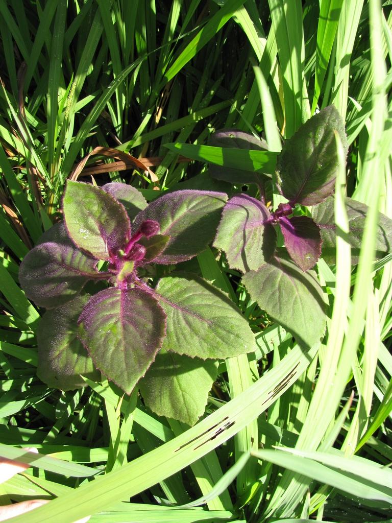 Gynura cultiver une vivace de serre et d 39 int rieur for Plantes decoratives interieur