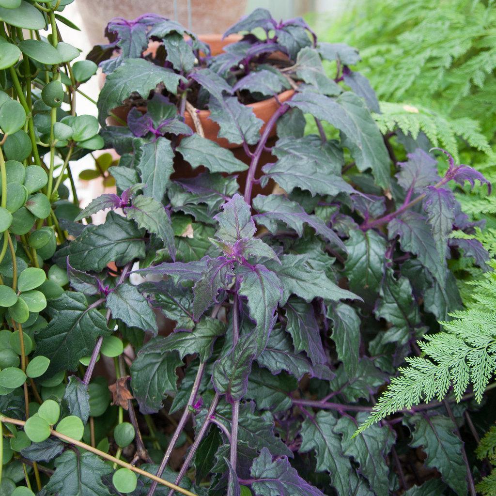 Gynura sarmentosa 'Purple passion'
