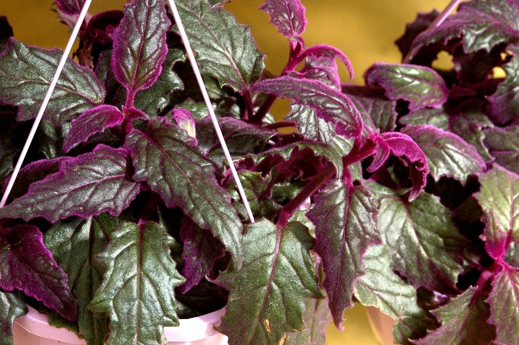 Gynura cultiver une vivace de serre et d 39 int rieur for Plante 8 feuilles