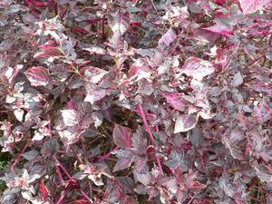 Plantation d'<em>Iresine herbstii</em>