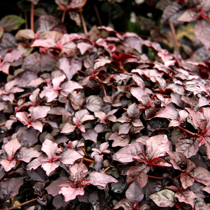 Irésine d'Herbst (Iresine herbstii) 'Purple Lady'