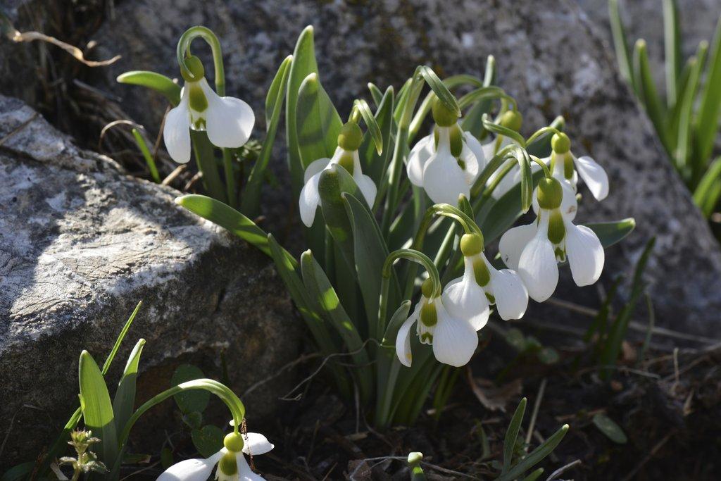 Perce neige planter et multiplier ooreka for Chaine de coeur plante entretien
