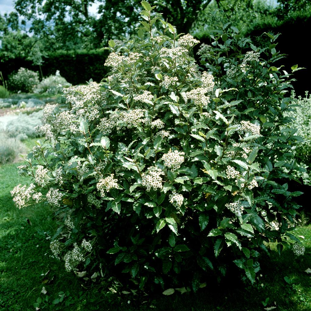 Houx de Nouvelle-Zélande (Olearia macrodonta, syn. Olearia x macrodonta) Espèce type