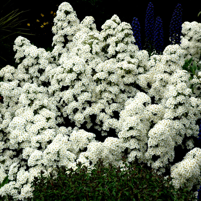 Hybrides et cultivars Oléaria de Tasmanie, Tasmanian daisy bush (Olearia x scilloniensis)