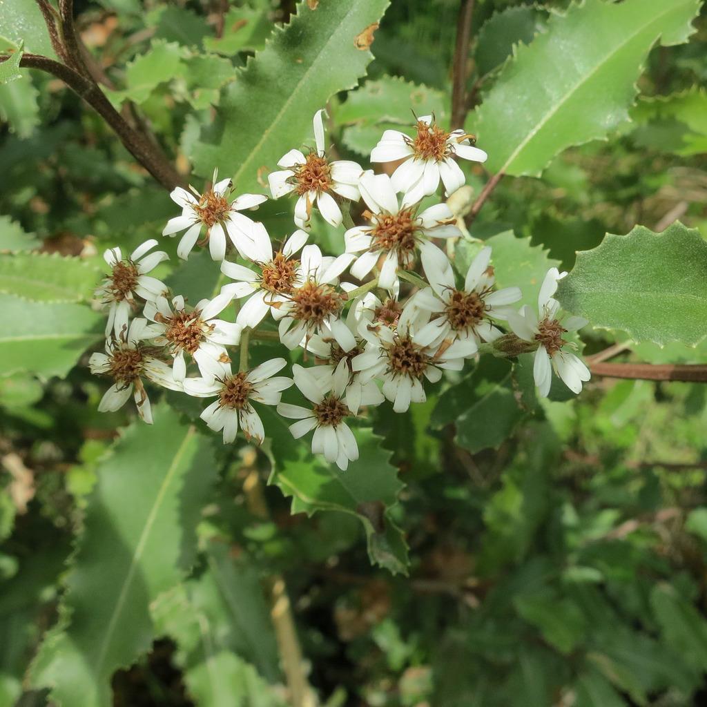 Oléaria à feuilles de houx (Olearia ilicifolia) Espèce type