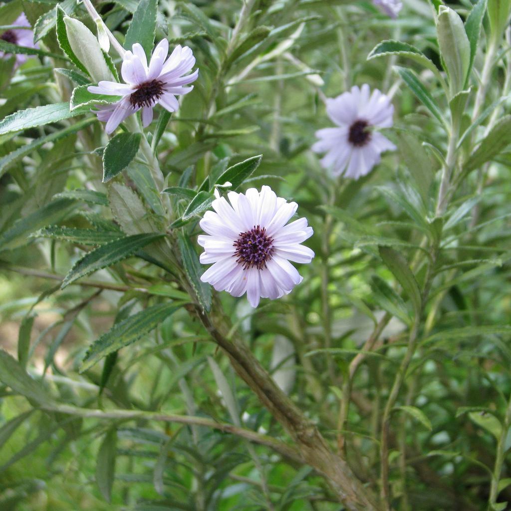 Hybrides et cultivars 'Henry Travers'