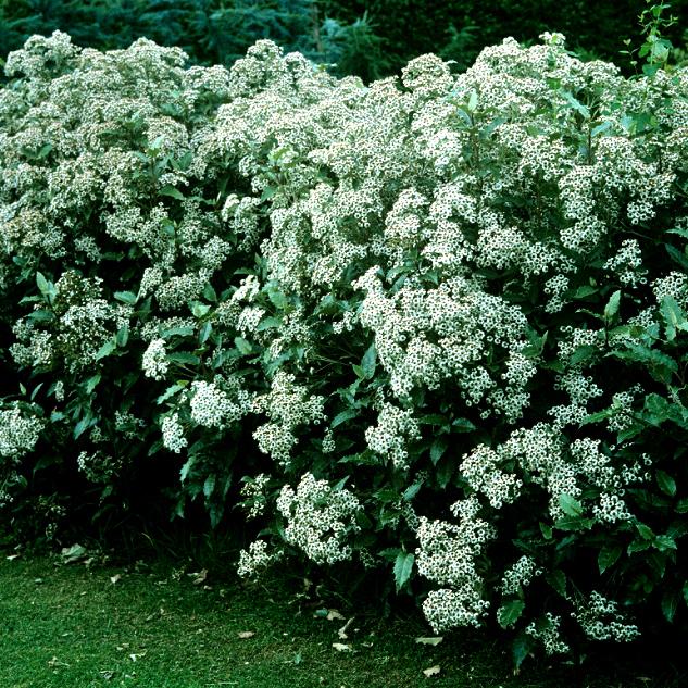 Olearia virgata (syn. Eurybia virgata) Espèce type