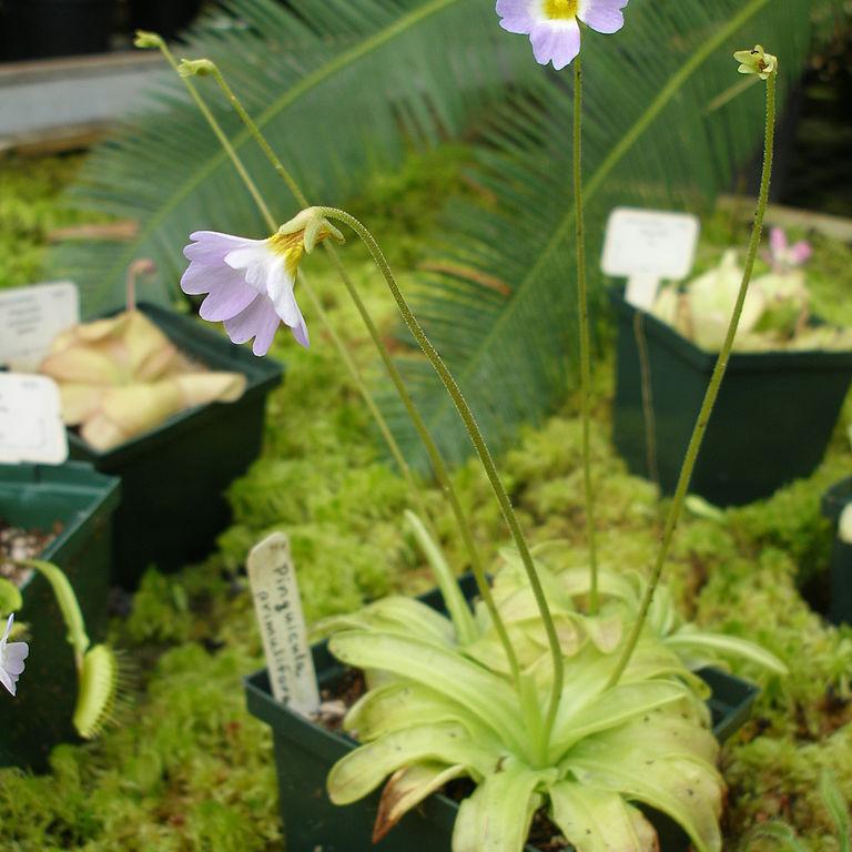 Grassette à fleurs de primevère (Pinguicula primuliflora)