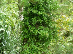 Plantation de <em>Psychotria elata</em>
