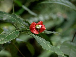 Culture et entretien de <em>Psychotria elata</em>