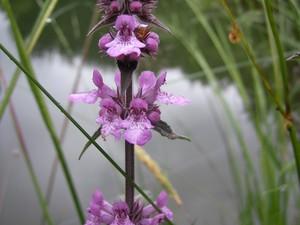 Plantation de <em>Stachys palustris</em>