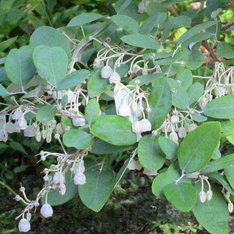 Muguet en arbre (Zenobia pulverulenta, syn. Andromeda pulverulenta) 'Woodlanders Blue'