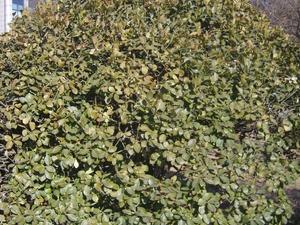 Plantation du fusain du Japon