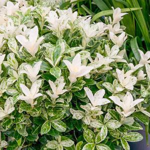 Fusain du Japon (Euonymus japonicus) 'Pierrlolino'