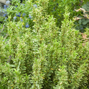 Fusain du Japon (Euonymus japonicus) 'Microphyllus'