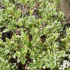 Fusain du Japon (Euonymus japonicus) Espèce type
