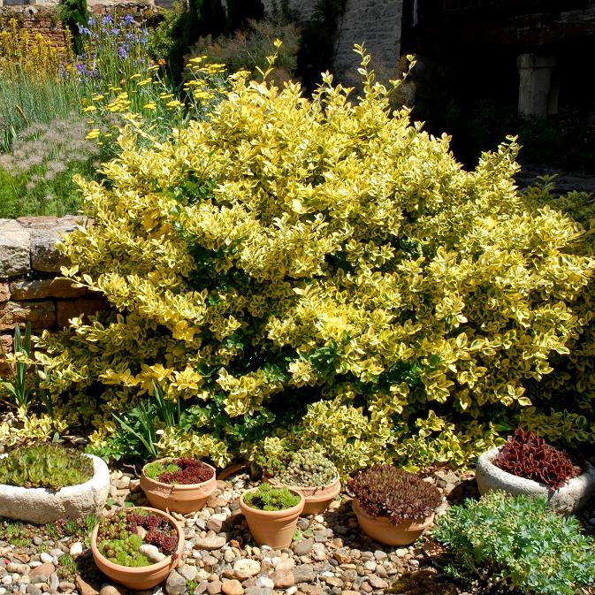 Fusain du Japon (Euonymus japonicus) 'Aureomarginatus'