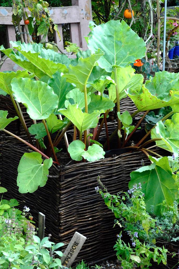 Rhubarbe : planter et cultiver - Ooreka