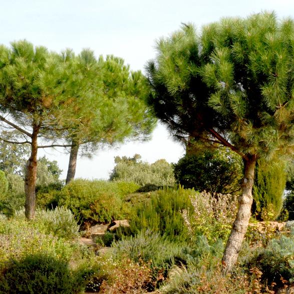 Variétés de grande taille Pin parasol ou pin pignon (Pinus pinea)