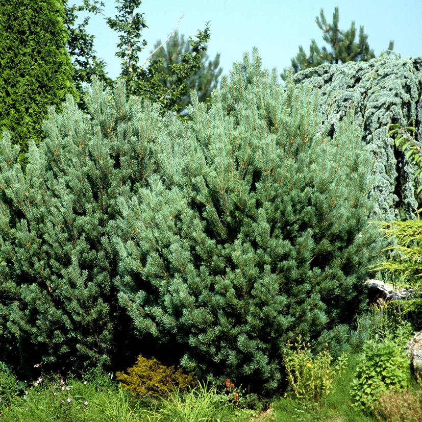Variétés de grande taille Pin d'Alep ou pin blanc de Provence (Pinus halepensis)