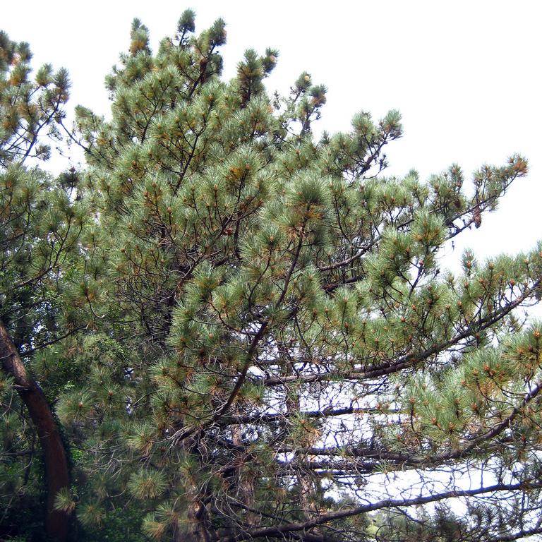 Variétés de taille moyenne Pin à gros cônes (Pinus coulteri)