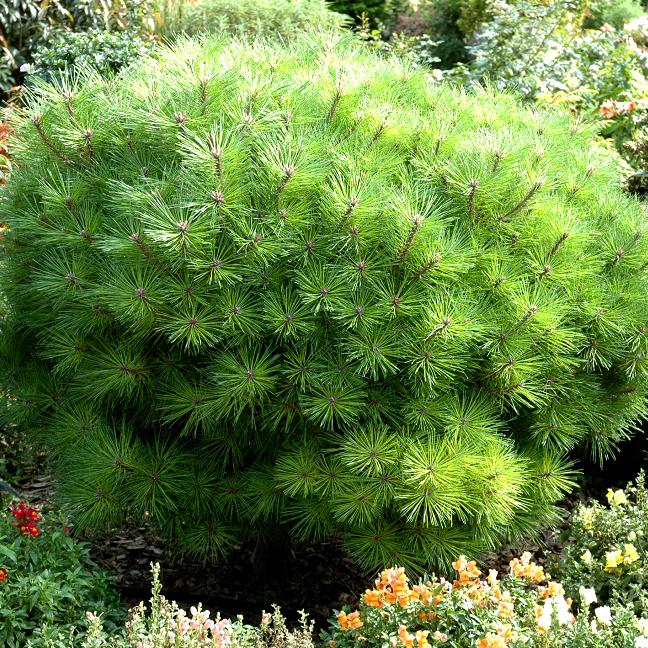 Variétés naines et de petite taille Pinus nigra 'Marie Brégeon'