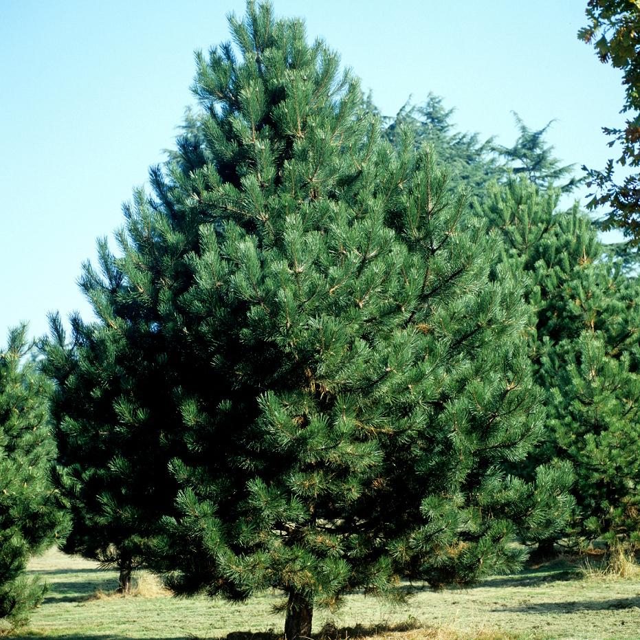 Variétés de grande taille Pin sylvestre (Pinus sylvestris)