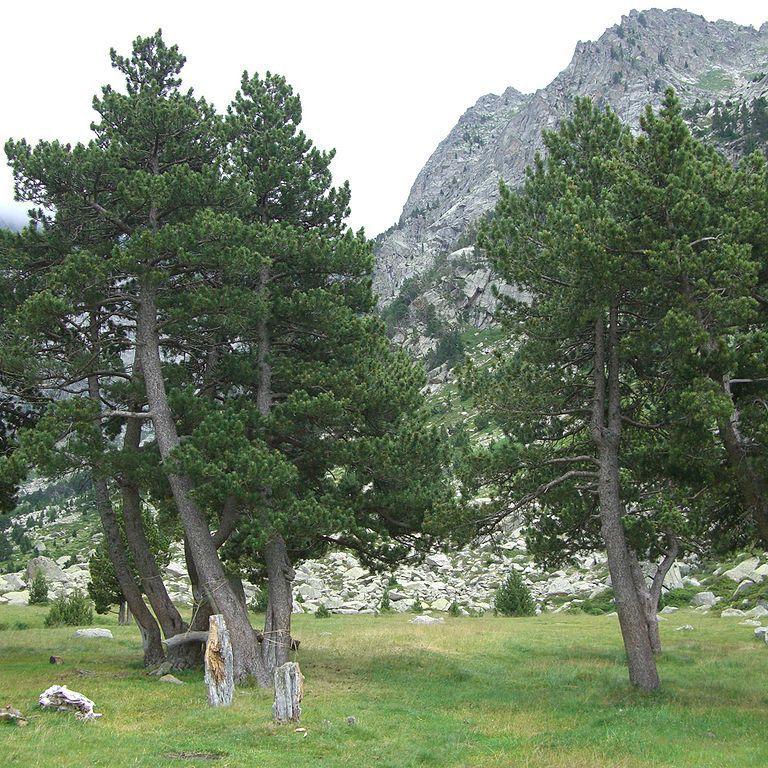 Variétés de taille moyenne Pin des montagnes à crochets (Pinus mugo 'Uncinata')