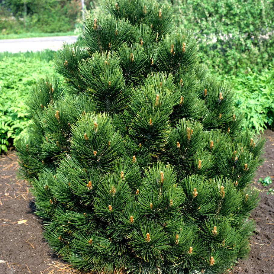 Variétés de grande taille Pin des Balkans (Pinus leucodermis)
