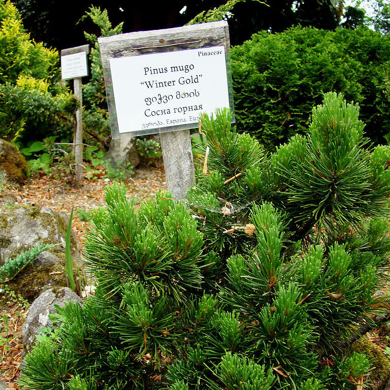 Variétés naines et de petite taille Pin de montagne 'Winter Gold' (Pinus mugo 'Winter Gold')