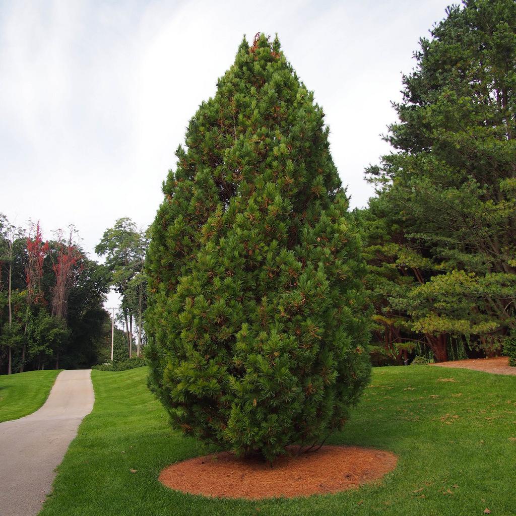 Variétés de grande taille Pin cembro ou pin des Alpes (Pinus cembra)