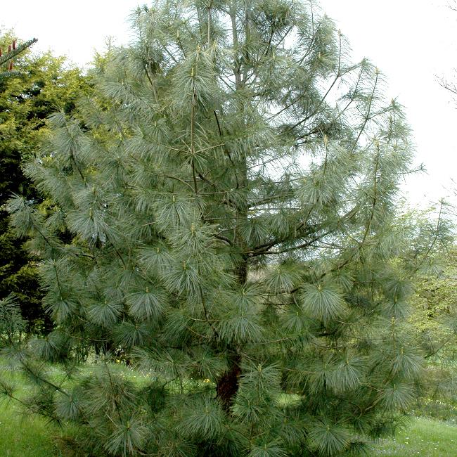 Variétés de grande taille Pin pleureur de l'Himalaya (Pinus griffithii)