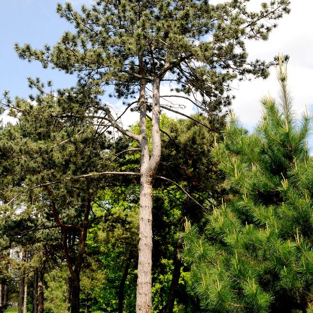 Variétés de taille moyenne Pin noir d'Autriche (Pinus nigra)