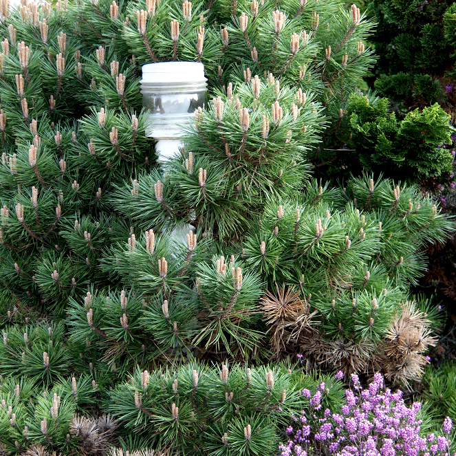 Variétés naines et de petite taille Pin de montagne 'Gnom' (Pinus mugo 'Gnom')