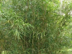 Plantation du <em>Pleioblastus</em>