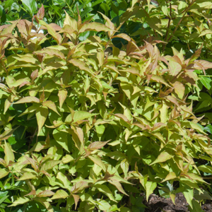 Diervilla sessilifolia Espèce type