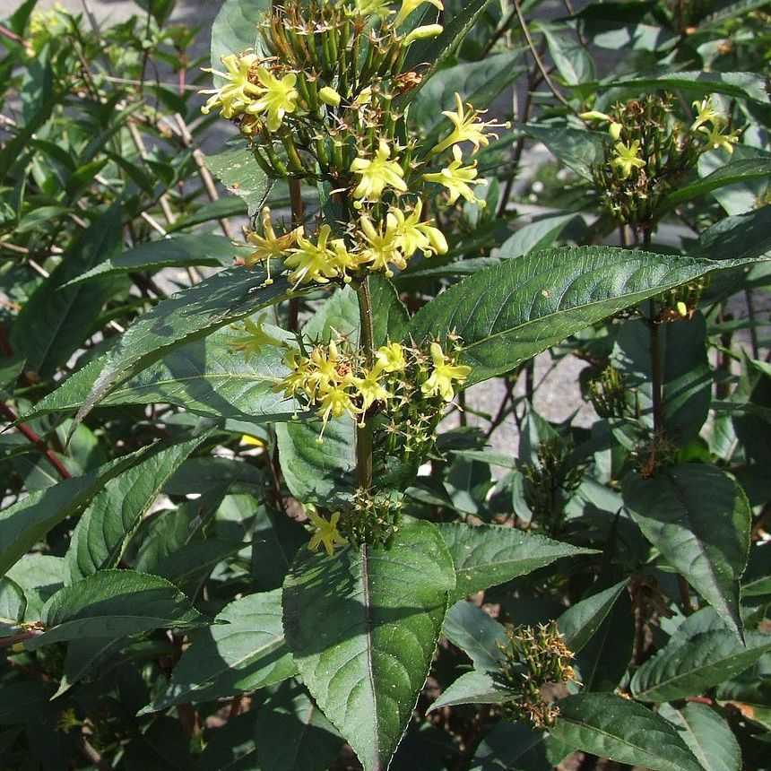 Diervilla rivularis Espèce type
