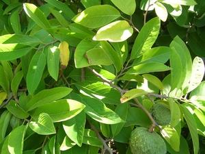 Plantation de la pomme cannelle