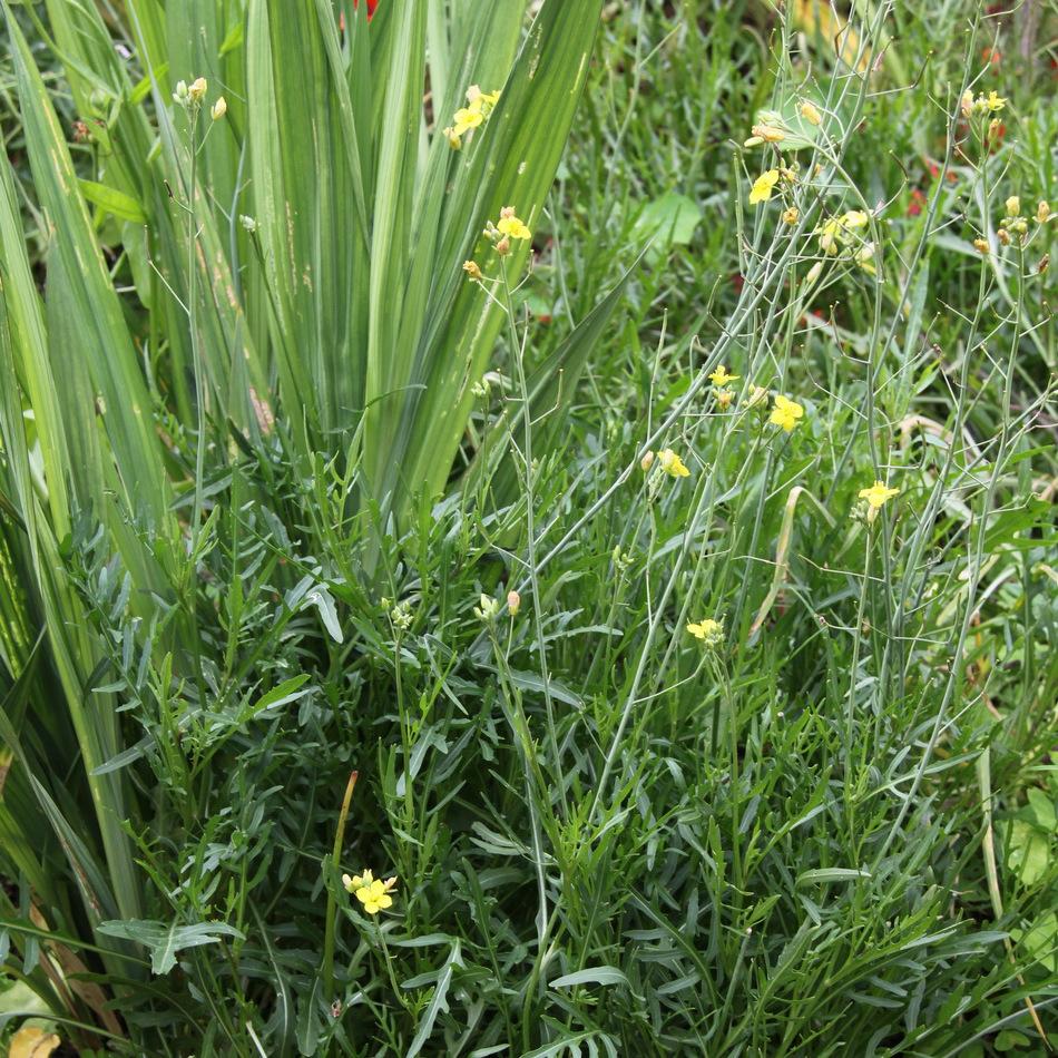 Roquette sauvage Diplotaxis tenuifolia